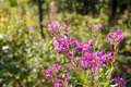 Willow Herb - PhotoDune Item for Sale