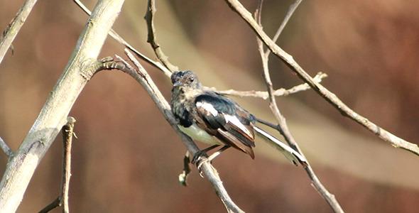 Juvenile Robin Magpie