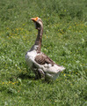 Domestic goose - PhotoDune Item for Sale