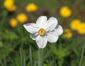 White narcissus - PhotoDune Item for Sale