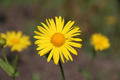 Yellow chamomile flower - PhotoDune Item for Sale