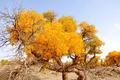 Golden poplars - PhotoDune Item for Sale