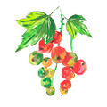 Watercolor with red currant on a white background - PhotoDune Item for Sale