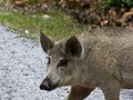 Wild pig 2 - PhotoDune Item for Sale