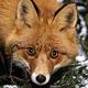 foxy_bi