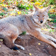 Coyote Looking at the Camera - PhotoDune Item for Sale