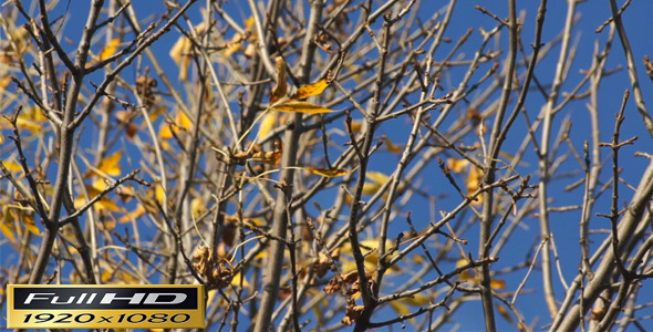 Autumn Tree With Few Leaves Full HD