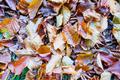 Colorful Leaves (Fagus sylvatica) - Wallpaper - PhotoDune Item for Sale