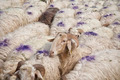 Sheep all over - PhotoDune Item for Sale