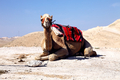 dromedary camel in the desert - PhotoDune Item for Sale