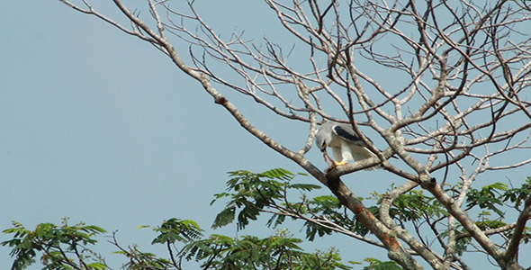 Black Shouldered Kite Eagle Feeding 02