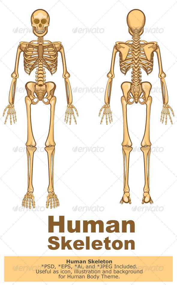 GraphicRiver Human Skeleton Vector Illustration 5913887