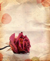 Dried Red Rose and Leaves - PhotoDune Item for Sale