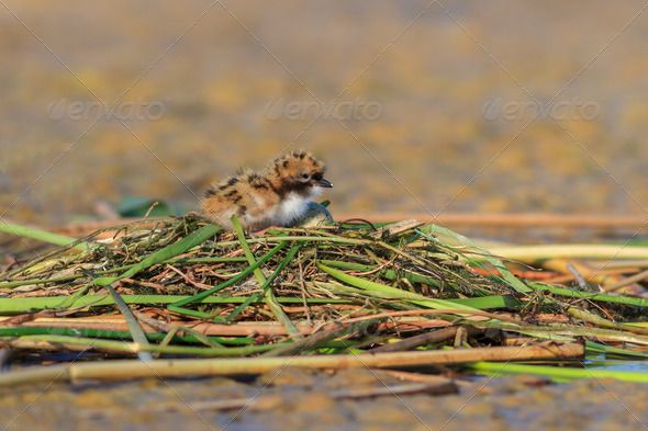 common tern chick on lake - Stock Photo - Images