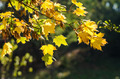 Autumn Maple Tree - PhotoDune Item for Sale
