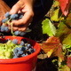 Harvesting Grapes - VideoHive Item for Sale