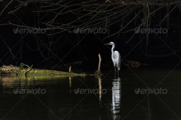 Little egret (Egretta garzetta) - Stock Photo - Images