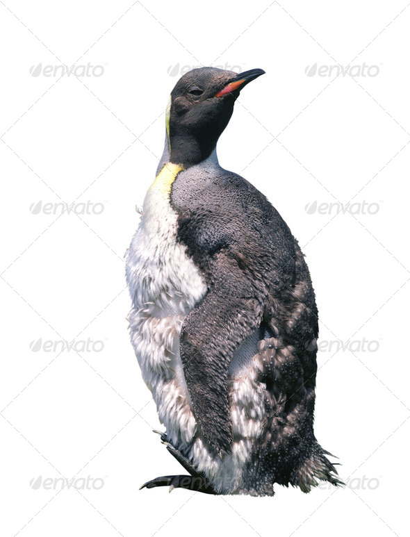 Isolated chick penguin - Stock Photo - Images
