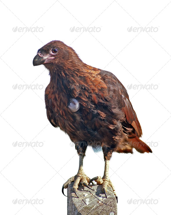Isolated caracara with egg - Stock Photo - Images