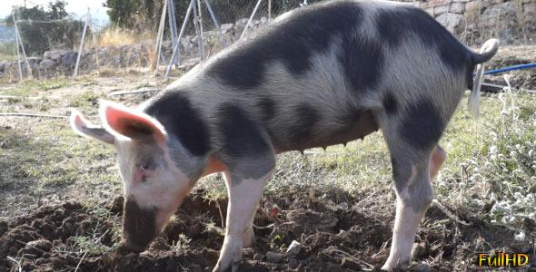 Pig Digs 4-Pack