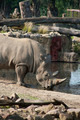 Rhinoceros drinking water - PhotoDune Item for Sale