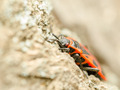 Red Stink Bug - PhotoDune Item for Sale