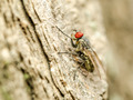 Small Fly Insect With Red Eyes - PhotoDune Item for Sale