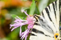 Scarce Swallowtail Butterfly - PhotoDune Item for Sale