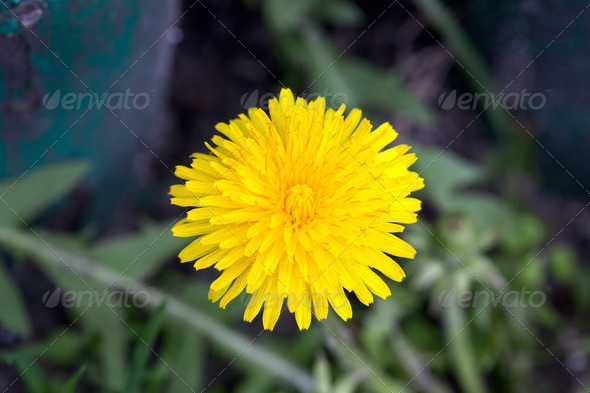 Dandelion blooming in early spring macro photography