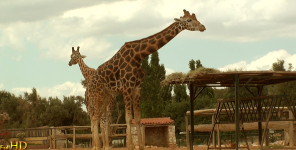 [VideoHive 634482] Giraffe | Stock Footage