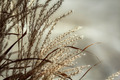 Ornamental Grass - PhotoDune Item for Sale