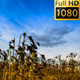 Withered Sunflowers And Clouds Timelapse - VideoHive Item for Sale