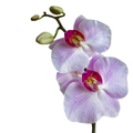Orchid flowers - PhotoDune Item for Sale