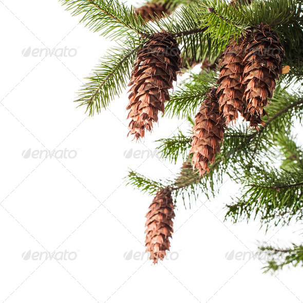 Pine branch - Stock Photo - Images