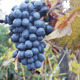 Bunch Of Red Wine Grapes - VideoHive Item for Sale