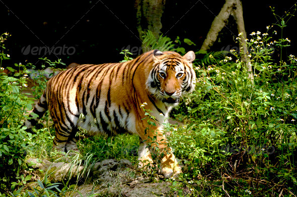 Bengal tiger - Stock Photo - Images