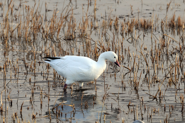 Snow Goose - Stock Photo - Images