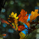 Autumn Fall Oak Leaves - PhotoDune Item for Sale