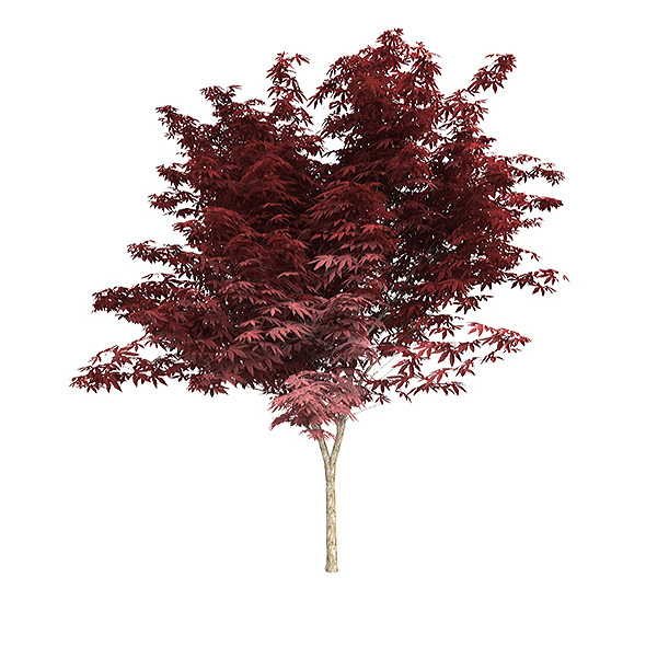 3DOcean Red Japanese maple 6215403