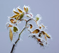 Frosted rose branch - PhotoDune Item for Sale