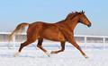 Sorrel Horse Running on snow manege - PhotoDune Item for Sale