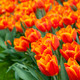 Beautiful orange tulips - PhotoDune Item for Sale