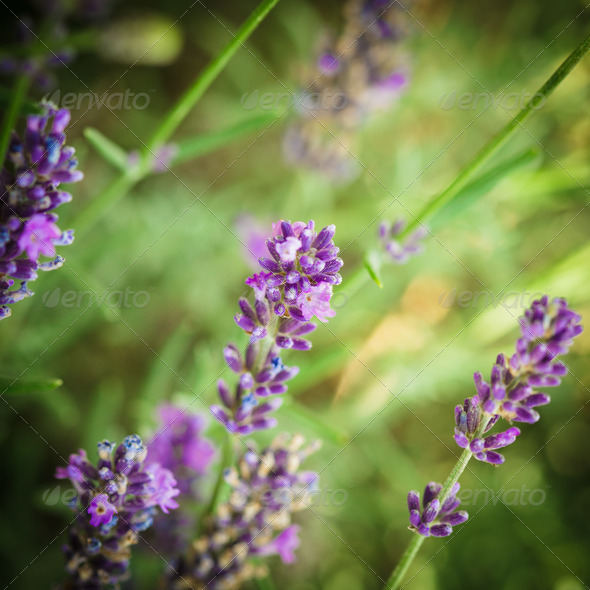 Lavender flowers - Stock Photo - Images