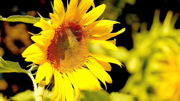 Sunflower on a Bright Sunny Day