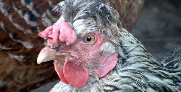 Chicken in Windy Weather