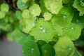 Dew and guttation on Centella asiatica leaf in the morning. - PhotoDune Item for Sale