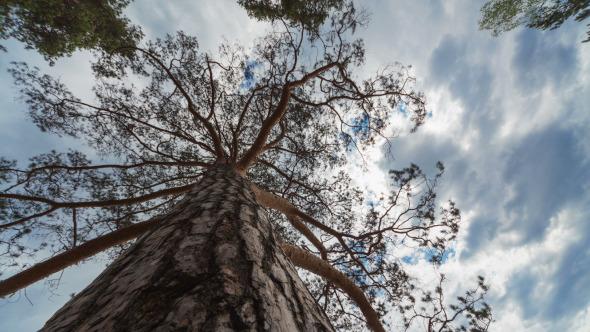 Pine Tree Time Lapse