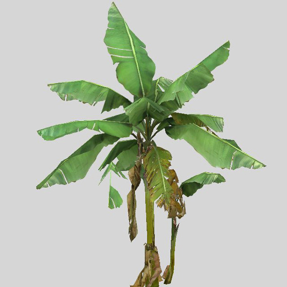 3DOcean Banana trees 6352854