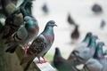 Pigeons - PhotoDune Item for Sale