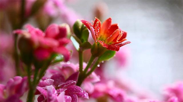 Pink kalanchoe